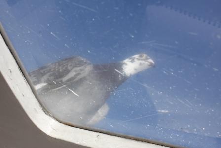 uithijgende duif